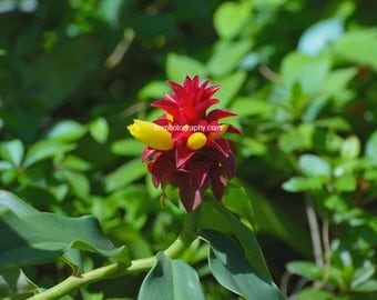 Digital Download,Red Tower Ginger part of the zingiberaceae family