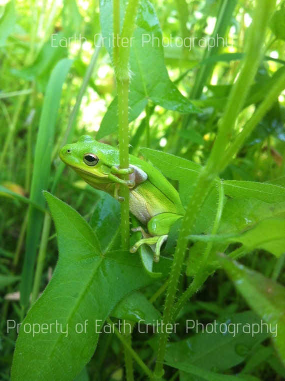 "Frog Framed Photograph Art, Green Tree Frog Framed Photo, 8x10"""