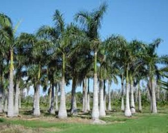 Live Cuban Royal Palm Trees (1 Gallon, 2 to 3 Feet Tall Right Now!!!)