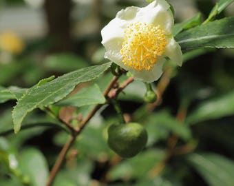 Live Camellia sinensis (Makes Green, White, Black and Oolong Teas) Plants
