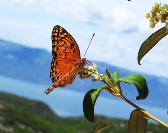 Haitian Monarch Butterfly; Nature Photography; Travel Photography; Haiti; bedroom; bathroom; beach house; children's room