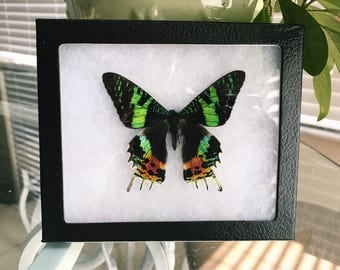 Real Madagascar Sunset Moth Urania Ripheus Recto Framed Butterfly