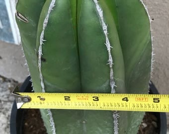 Mexican Fence Post Cactus (Succulent)
