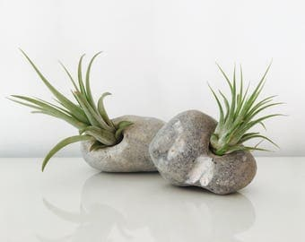 Air plant - tillandsia - terrarium - Pebble