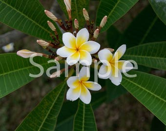 Digital Photography Download (frangipane flowers)