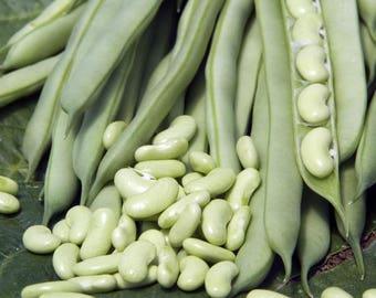 Chevrier Verte haricot extremement rare 1878 - Chevrier Verte  bean - extremely rare 1878