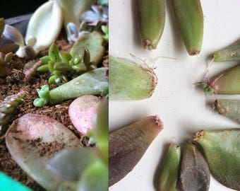 10 Rooting/Budding Succulent Leaves +Bonus Baby Succulent