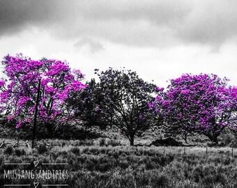 Jacaranda Tree's in Bloom