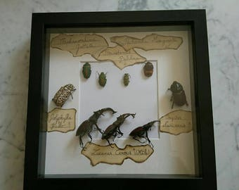Entomology insect europe and Africa framed cabinet of curiosities