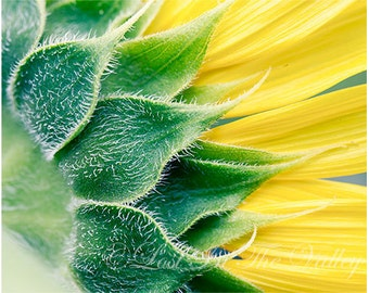 Sunflower Photograph, Flower Photo, Wall Decor, Floral Print, Summer Garden, Photo of a Bloom, Petals, Fine Art Photography, Yellow, Green