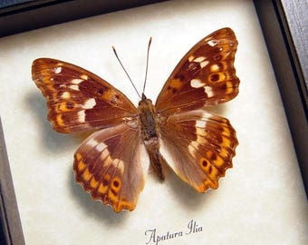 Real Framed Rare Apatura Ilia The Lesser Purple Emperor Butterfly 7939