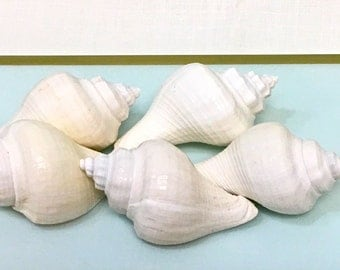 "Seashells - S/5 White Hemifusus Pugilina Shells - 2"" - beach weddings crafting coastal sea shells"