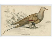 1836 GROUSE ENGRAVING - syrheptes pallassii original antique hand colored jardine game bird engraving