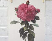 Redoutes Roses Book Page Plate Botanical Wall Art Burgundy Rosa Gallica Flore gigantio Rose