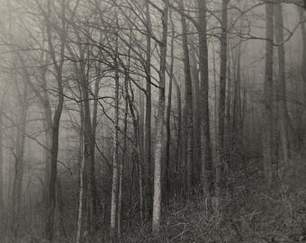 tree photography, forest photography, woodland photography, trees, black and white photography, landscape photography, trees in fog