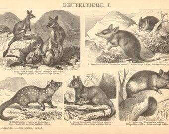 1894 Marsupials, Wallaby, Long-nosed Bandicoot, Eastern Quoll, Opossum, Wombat, Numbat, Tasmanian Wolf, Koala  Original Antique Engraving
