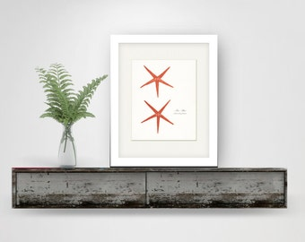Two Coastal Decor Antique Sea Stars - Nautical, Beach Style Giclee Art Print - bright coral