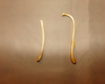2 Real animal coon broke bone organ taxidermy weird craft supply part raccoon penis