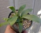 Silver Staghorn Fern-Platycerium Veitchii