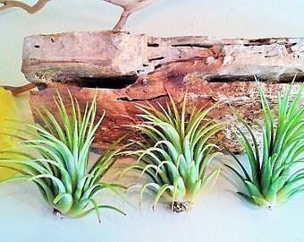 3 LARGE Air plants - Wholesale plants - Tillandsia - diy projects - terrariums - crafts - supplies - Wedding favors - Moss
