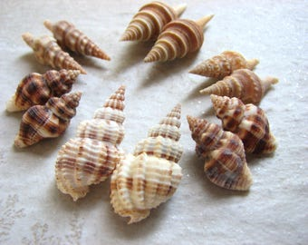 Medium Sea Shells, Set of 6 Paired Spiral Seashells in Browns to Creams, Undrilled Natural Shells, DIY Shell Earrings
