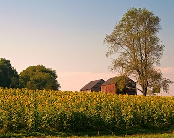 Evening on the Sunflower Farm Fine Art Photo Print