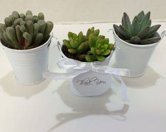 Succulent Plants - 80 Assorted  Succulent Plants in 2 inch pots, with Miniature White Pails, Ribbons and Thank You Tags. Custom for kgrey29.
