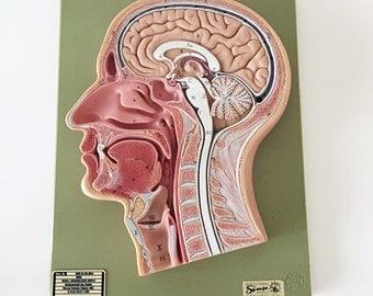 Vintage German Head Cross-Section Anatomical Model / Vintage Medical Teaching Model