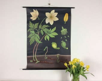 Vintage pull down school chart,  wood anemone