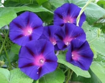 AIP) GRANDPA OTT Morning Glory~Seeds!~~~~Lovely Heirloom!!