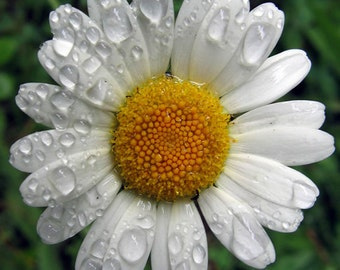 HCH) GERMAN CHAMOMILE~Seeds!!~~~~~As Relaxing As A Bath!