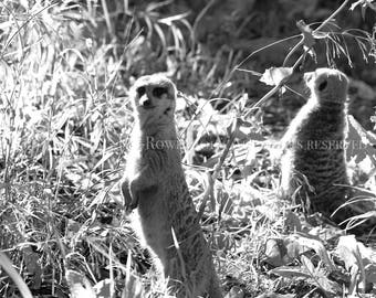 Cute Kids Room Decor! Nature Photography, Wildlife Print, B&W Meerkat Photography, Meerkats, Animal Home Decor, Zoo Decor, Meerkat Art Print