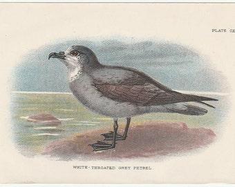 White Throated Grey Petrel Bird Print From Handbook to The Birds Of Great Britain 1896 Edward Lloyd Ltd. London