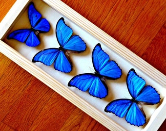 Metalic Morpho Butterflies Framed - Taxidermy - Collectibes - Home Decoration