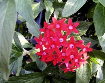 RED PENTA Heirloom Perennial Live Tropical Plant Tall Variety Attracts Butterflies Hummingbirds Starter Size 4 Inch Pot Emerald tm