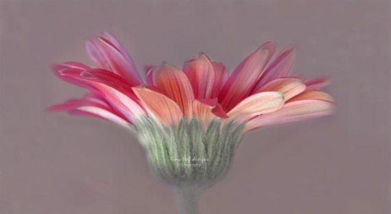 8 x 12 Photographic Print - Pink Daisy