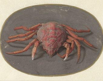 Jan Augustin van der Goes: Crab. Fine Art Print/Poster. (004066)