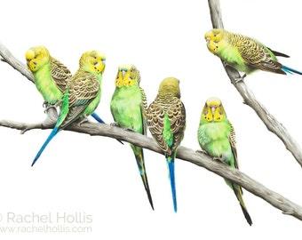 Budgerigar budgie parrot drawing painting bird art print of pencil drawing wall art print - bird art print