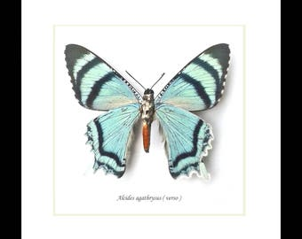 Butterflies framed PNG moth Alcides agathrysus BBAAVLA