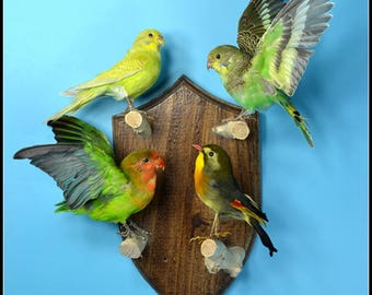 Taxidermy birds parrot Budgie  mounted on wooden base .4 birds /sets.hanging wall free shipping to everywhere
