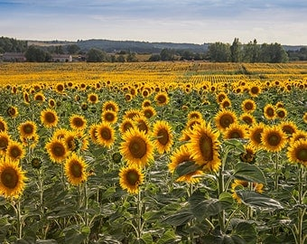 Sunflower Field Print, Landscape Photography, Yellow Wall Art, Nature Photography, Wall Picture of French Flowers, Rustic Country Decor