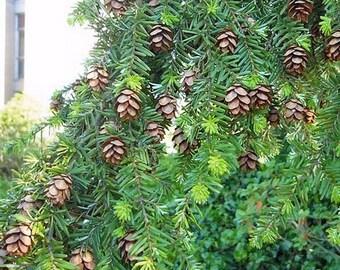 Western Hemlock Tree Seeds ( Tsuga heterophylla) 25+Seeds
