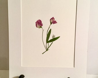 Real Pressed Flower Botanical Art Herbarium of Sweet Pea 5x7, 8x10 OR 11x14