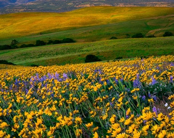 Fine Art Photo Print, Columbia Hills, Washington, Mt. Hood Oregon, Yellow Wildflowers, Mountain, Pacific Northwest, Nature Photography