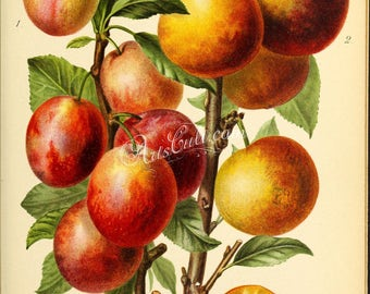fruits-04214 - Plum prunus red yellow printable vintage picture illustration digital downloadable jpg clipart old branch with leaves book