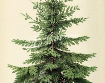 trees-00724 - Nordmann Fir or Caucasian Fir, abies nordmanniana, Christmas tree green plants botanical botany wood forest vintage picture