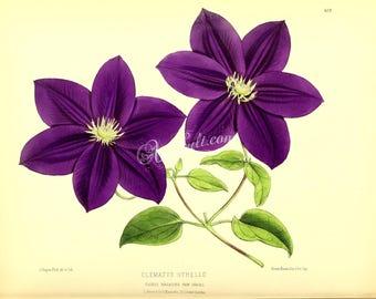 flowers-17436 - clematis othello Purple violet flower plant floral botanical digital vintage picture illustration image public domain book