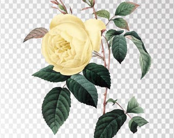 """Rosa Indica Clip Art Flower - 16""""x20"""" Transparent Background Clipart PNG and JPG Illustration Instant Download"""