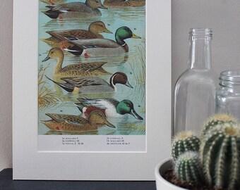 Original Vintage Dabbling Ducks Birds Mounted Print Office Home Decor Illustration Old British UK Bird Mallard Duck Waterfowl Wildlife Art