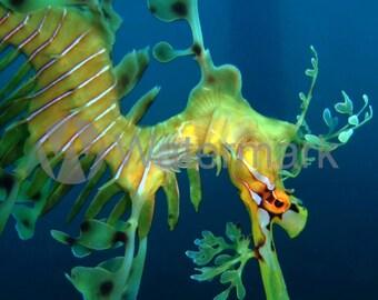 Fine Art Leafy Sea Dragon Fine Art Digital Image. A Stunning Close Up Picture Of A Leafy Sea Dragon In South Australia